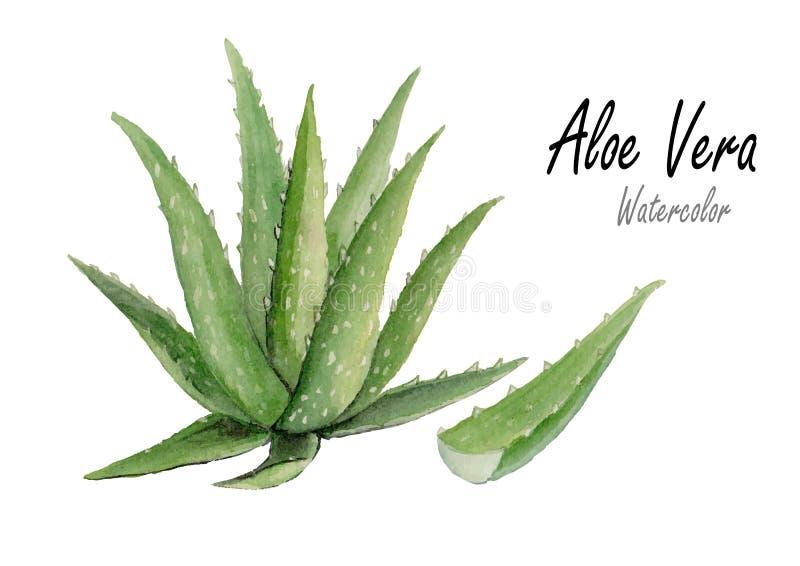 Aloe Vera Hand gezeichnete Aquarellmalerei auf weißem Hintergrund Auch im corel abgehobenen Betrag vektor abbildung
