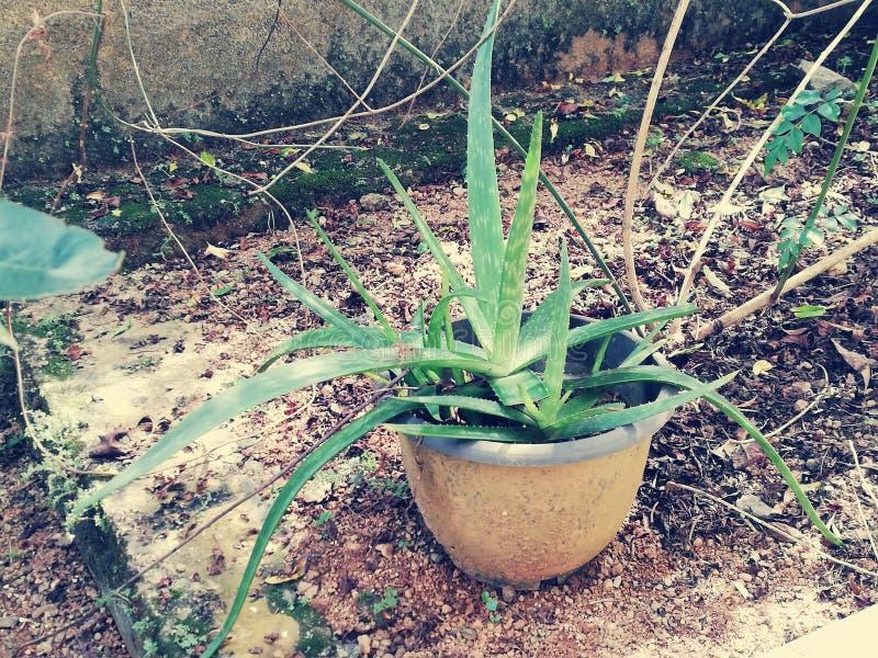 Aloe vera stock photography