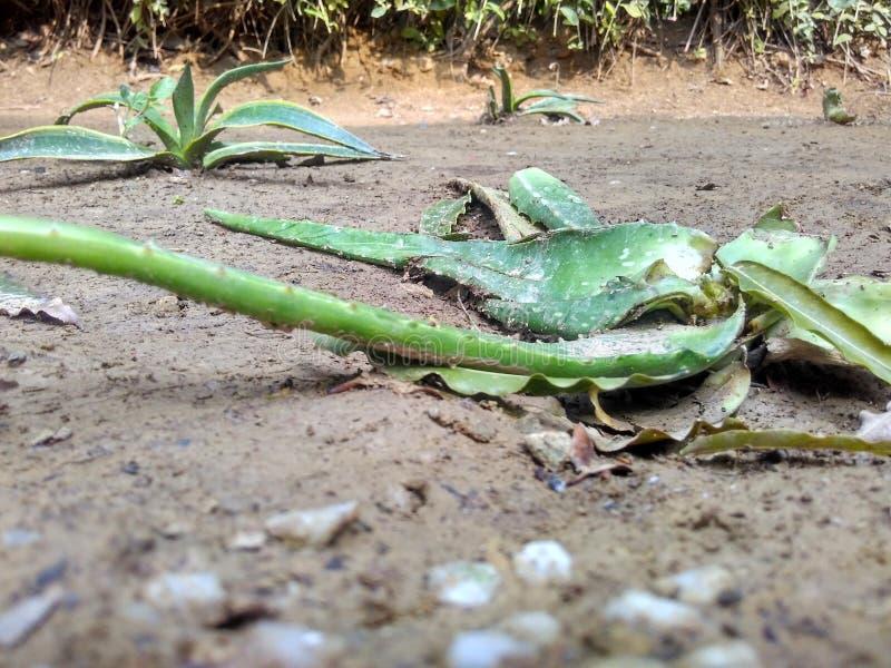 Aloe Vera lämnar arkivfoton