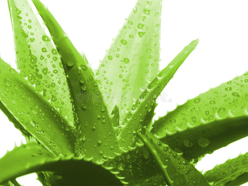 Aloe Vera Leaves Royalty Free Stock Images