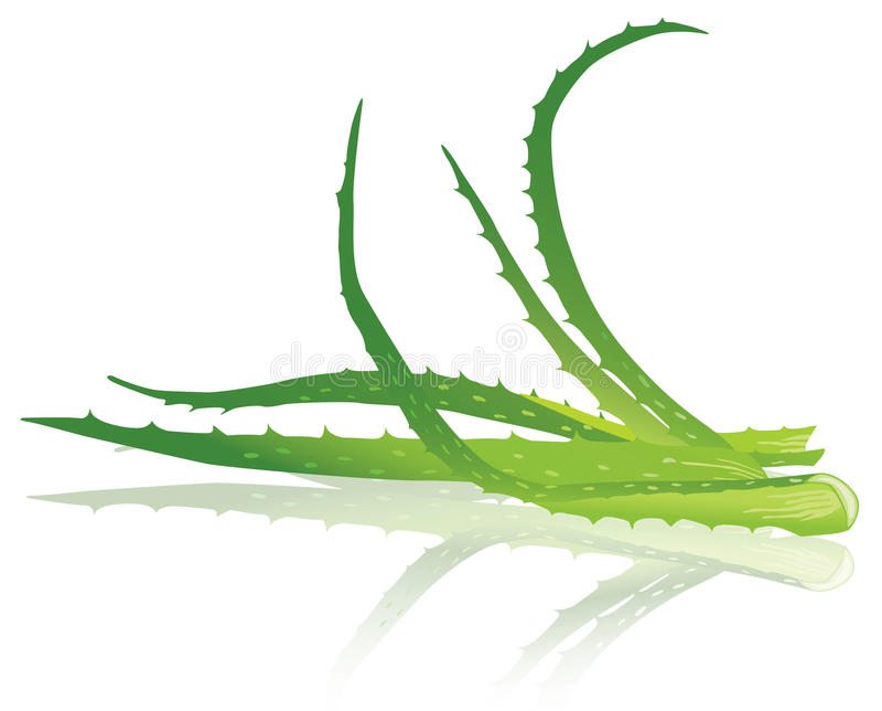 Aloe vera leaves. Vector illustration. stock illustration
