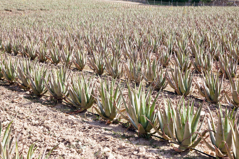 Aloe Vera: piantagione di aloe medicinale vera immagine stock libera da diritti