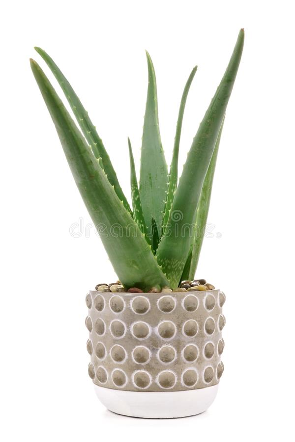 Aloe vera plant in cement pot isolated on white. Aloe vera plant in a cement pot isolated on a white background royalty free stock photography