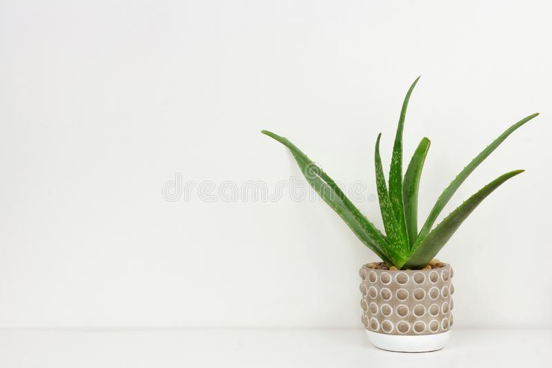 Aloe vera plant in a cement pot on shelf against a white wall. Aloe vera plant in a cement pot. Side view on white shelf against a white wall. Copy space royalty free stock photos