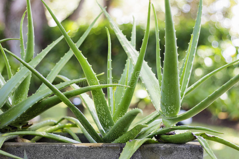 Aloe Vera Plant royalty free stock photography