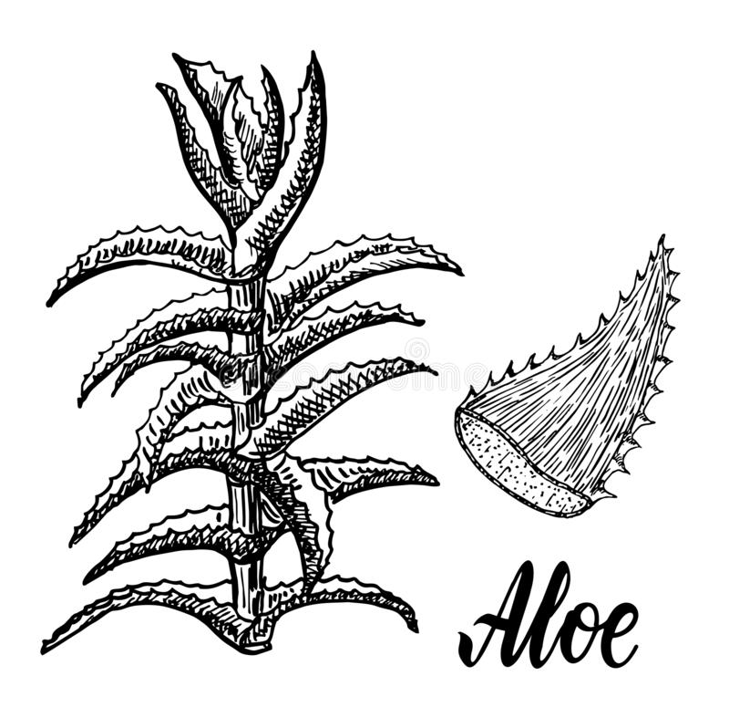 Aloe Vera plant hand drawn engraving  illustration on white background stock illustration