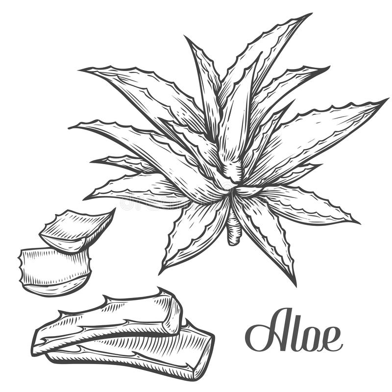 Aloe Vera plant hand drawn engraving vector illustration on white background. Ingredient for traditional medicine, treatment, body. Care, cooking or gardening royalty free illustration
