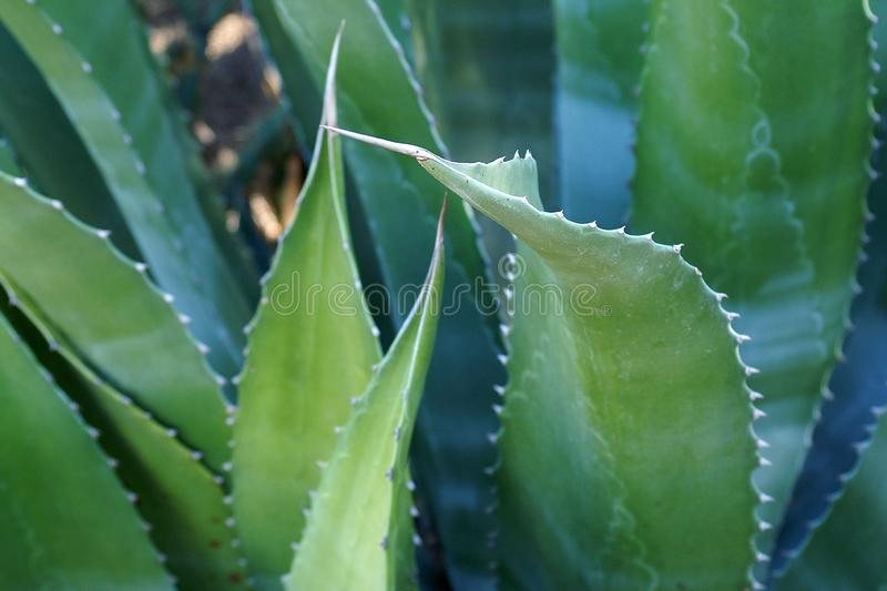 Aloe Vera Plant Leaves Closeup royaltyfri fotografi
