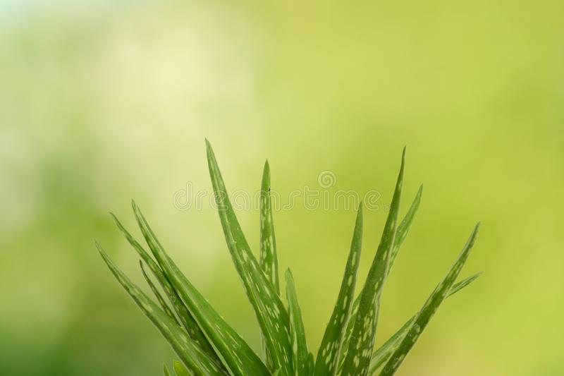 Aloe Vera Plant with natural background royalty free stock photo