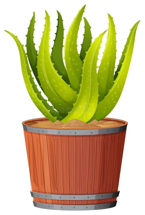 Aloe Vera Plant On Transparent Background Stock Vector Illustration Of Graphic