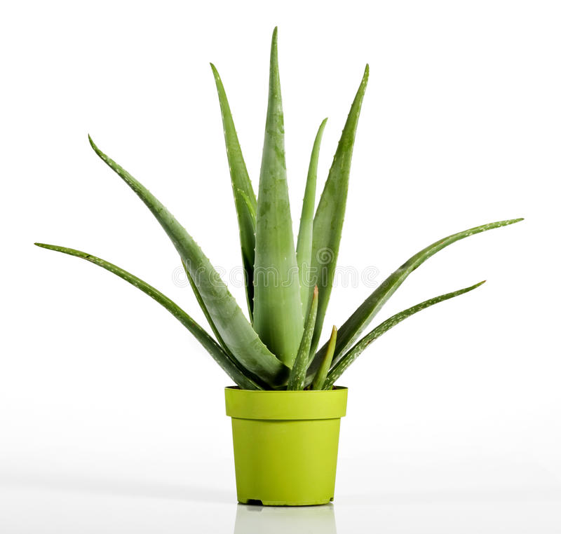 Aloe Vera Plant on Yellow Green Pot royalty free stock image