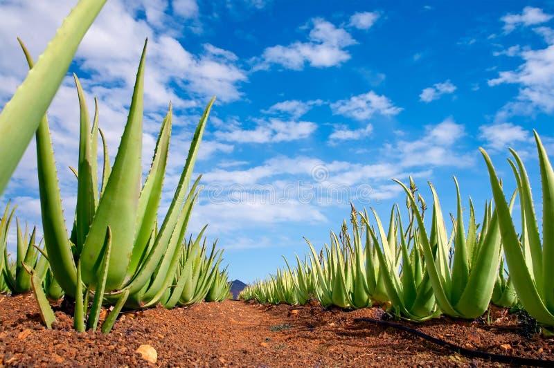 Aloe Vera-Plantage stockfotografie