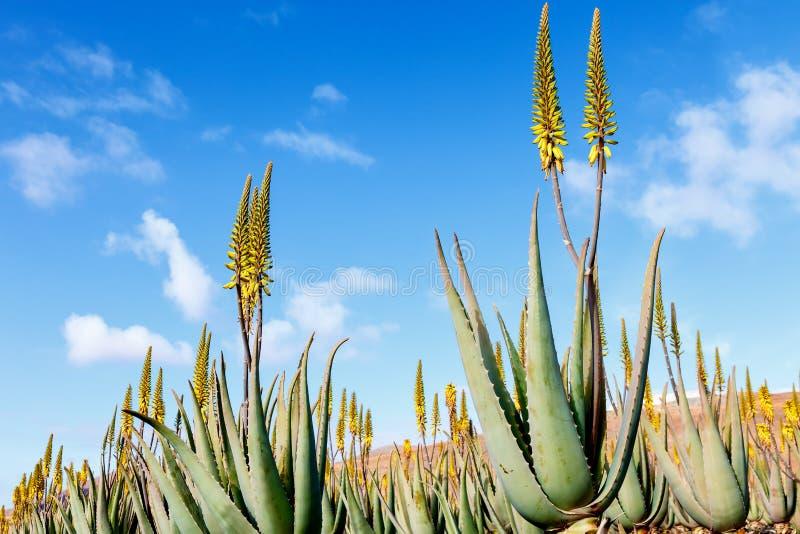 Aloe vera plantation royalty free stock photos