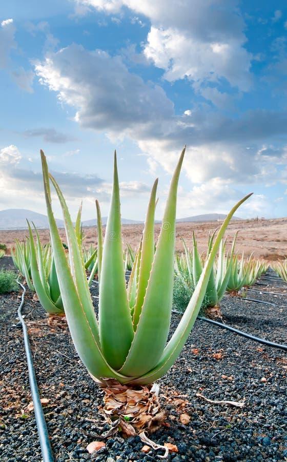 Aloe Vera Plantation On Fuerteventura Stock Images