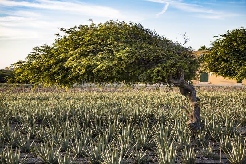 Divi divi tree - Libidibia coriaria - aloe plantation, Aruba. Aloe Vera plantation and Libidibia coriaria - native and impressive shape of divi-divi tree in stock photos