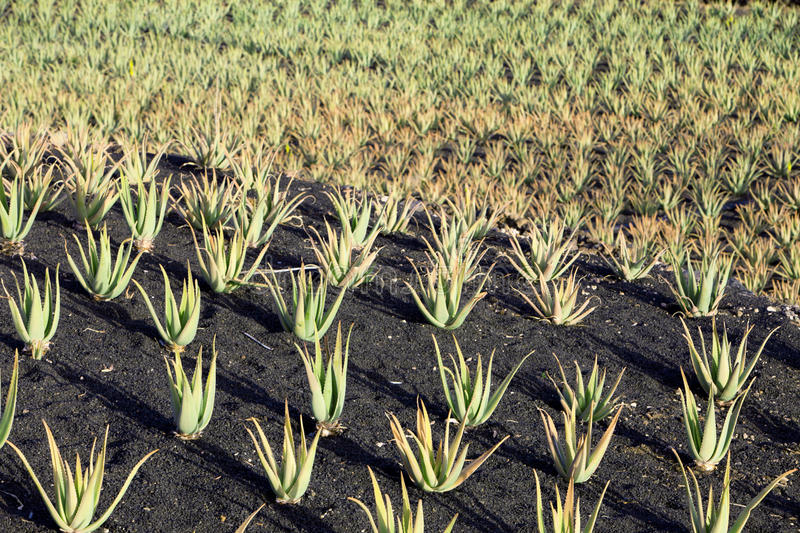 Aloe Vera plants on the field in the north of Lanzarote royalty free stock photography