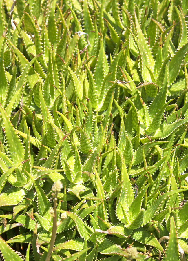 Aloe vera plants from nature. Natural aloe vera plants to heal wounds stock photo