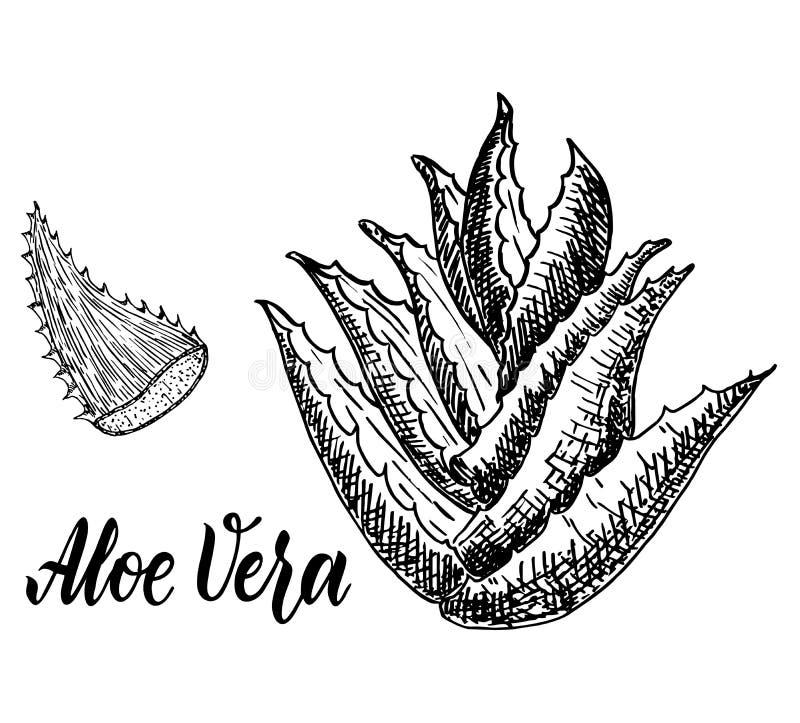 Aloe Vera Sketch. Vector hand drawn botanical Aloe Vera vector illustration