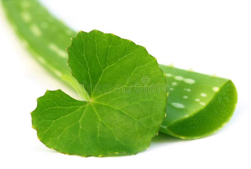 Aloe vera with thankuni leaves stock images