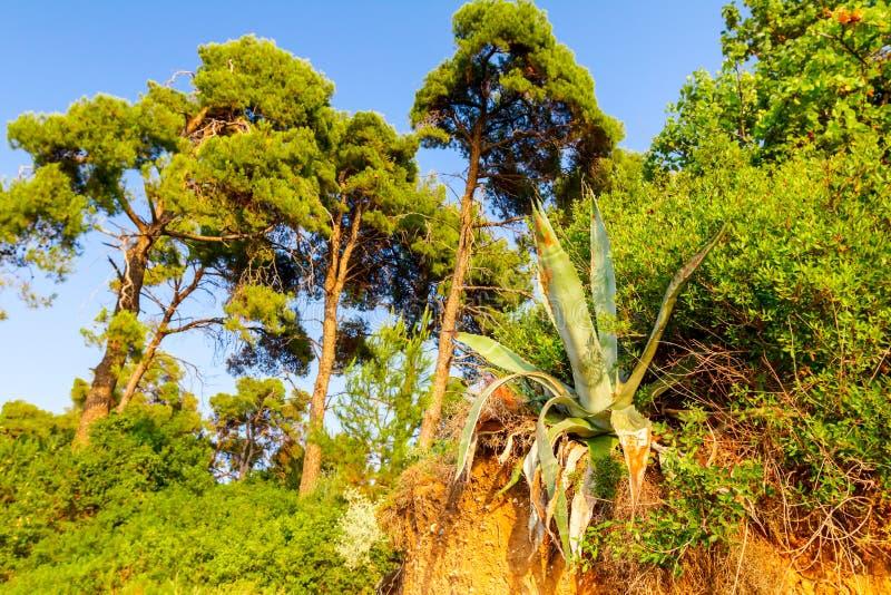 Aloe Vera växer på kantkraftfullklippan arkivbild