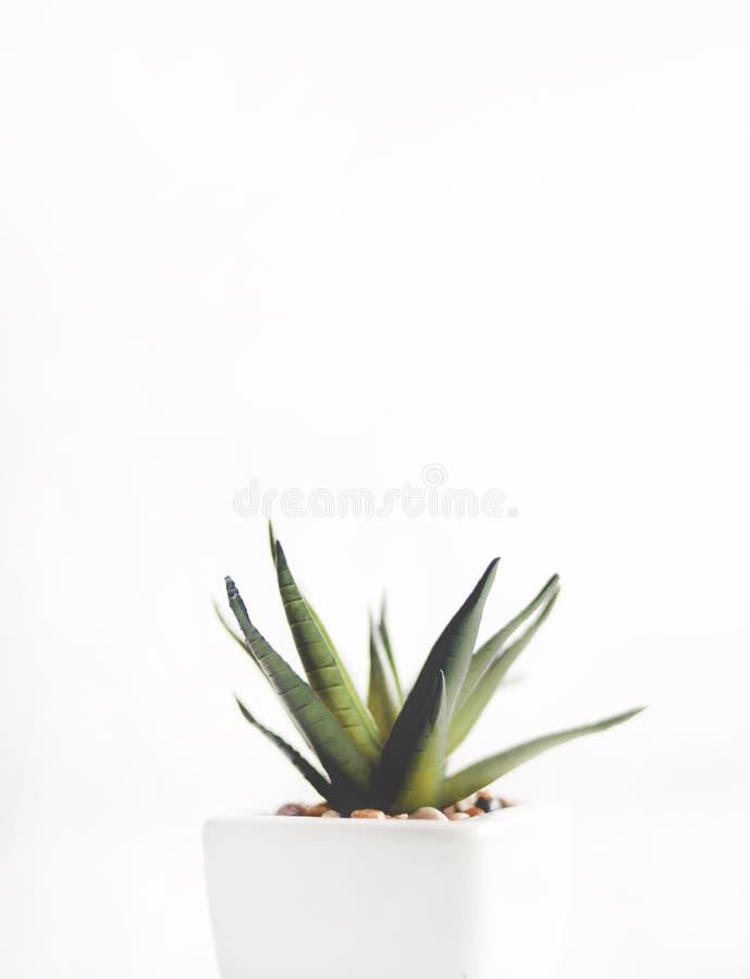Aloe Vera-Werk in White Pot lizenzfreie stockfotos