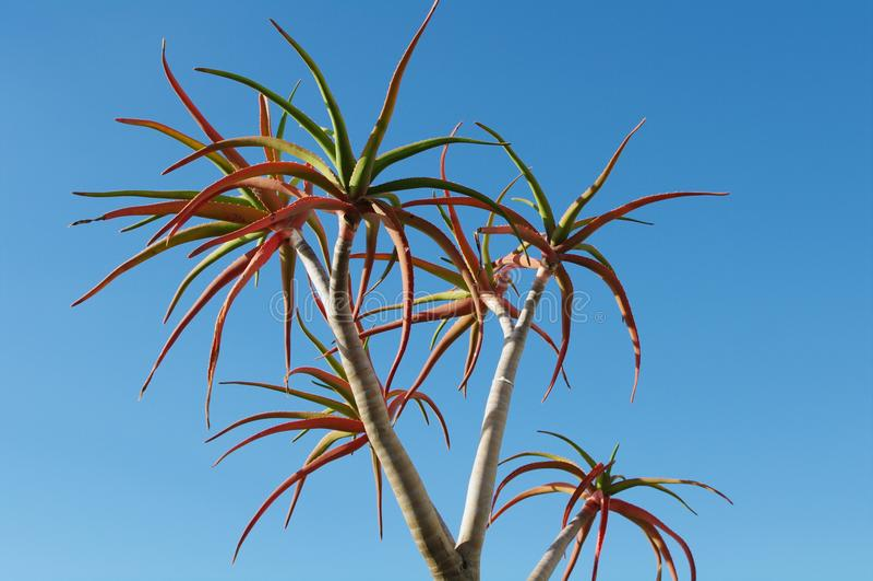 Aloebaum silhoutted gegen blauen Himmel stockfoto