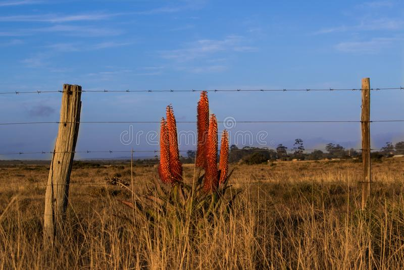 Aloeblommablom bredvid ett staket royaltyfria foton