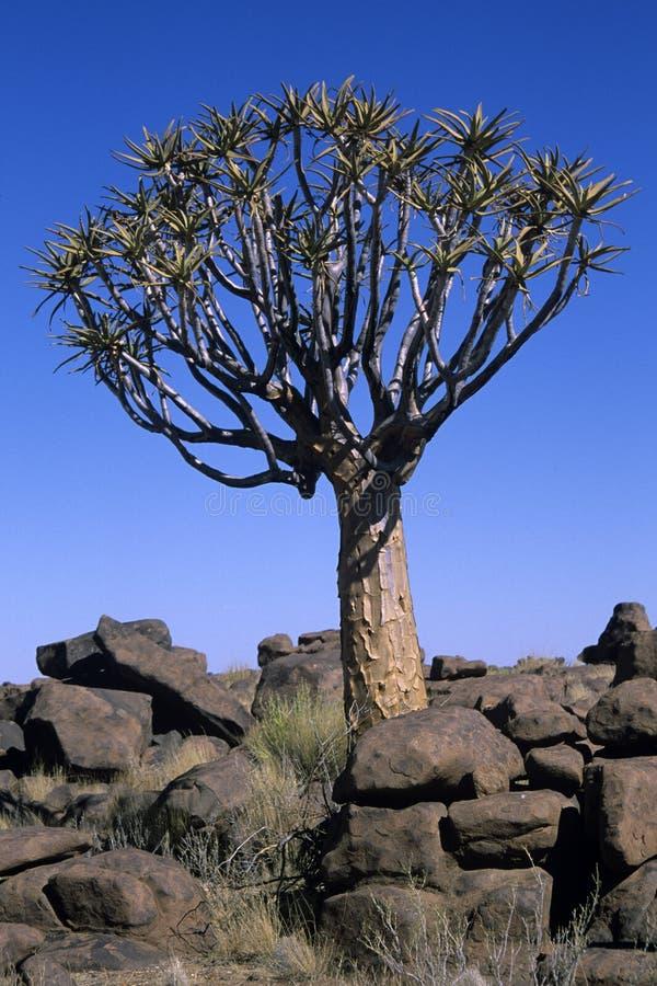 aloedichotoma namibia royaltyfri foto