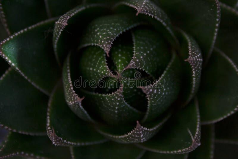 Aloerosettennahaufnahme von oben lizenzfreies stockbild