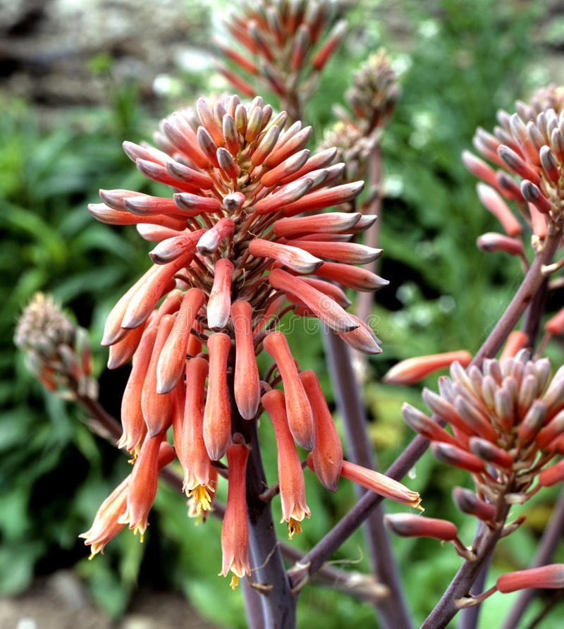 Aloes; Barbadensis; Vera obrazy royalty free