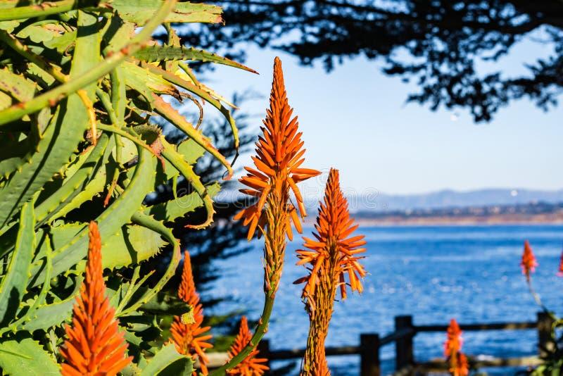 Aloes kwitnie na ocean spokojny linii brzegowej, Pacyficzny gaj, Monterey podpalany teren, Kalifornia obraz stock