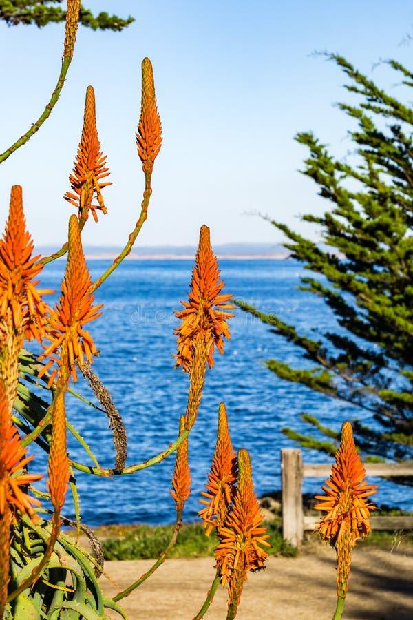 Aloes kwitnie na ocean spokojny linii brzegowej, Pacyficzny gaj, Monterey podpalany teren, Kalifornia obrazy royalty free
