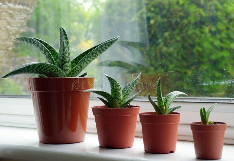Aloes Variegata zdjęcie royalty free