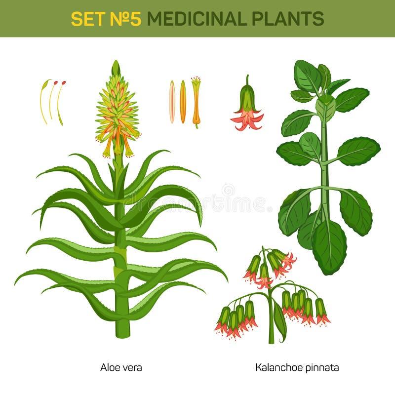 Aloes Vera i kalanchoe pinnata medyczne rośliny ilustracja wektor