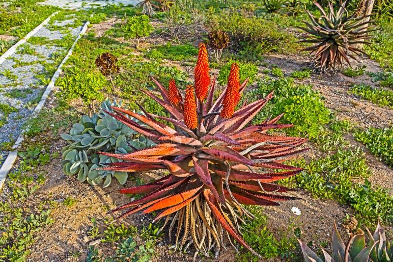 Aloes z rewolucjonistką i czerwień kwiatami opuszcza obrazy royalty free