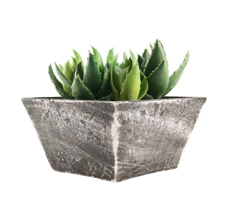 Aloesu domu roślina w garnku, odosobnionym obraz stock