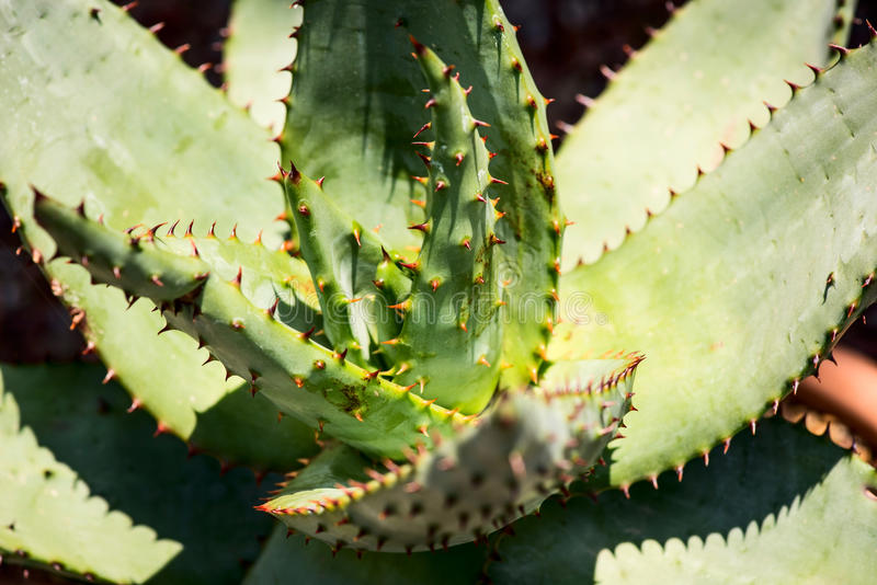 Aloesu ferox rozmaitości roślina zdjęcie stock