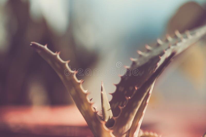 Aloesu kaktusa liście indoors, słoneczny dzień zdjęcie royalty free