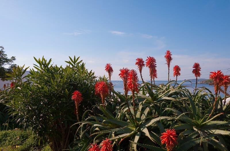 aloesu tła błękitny kwiatonośny denny niebo zdjęcie stock