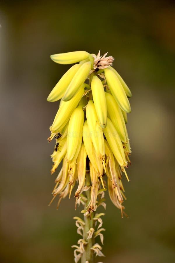 Aloesu Vera kwiat, pszczoły i pluskwy obraz stock