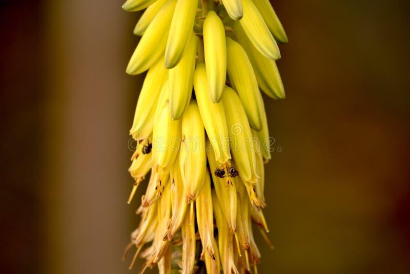 Aloesu Vera kwiat, pszczoły i pluskwy obraz royalty free