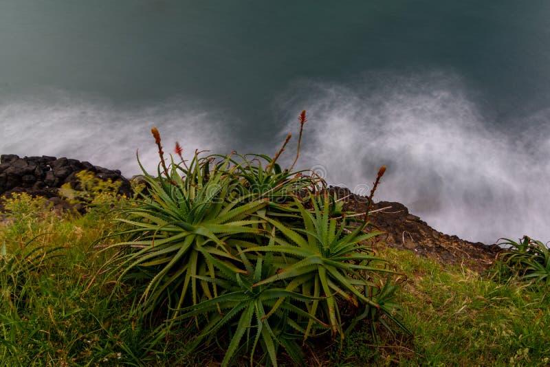 Aloesu Vera kwiaty na brzeg linii Atlantycki ocean i roślina, madera, Portugalia zdjęcie royalty free
