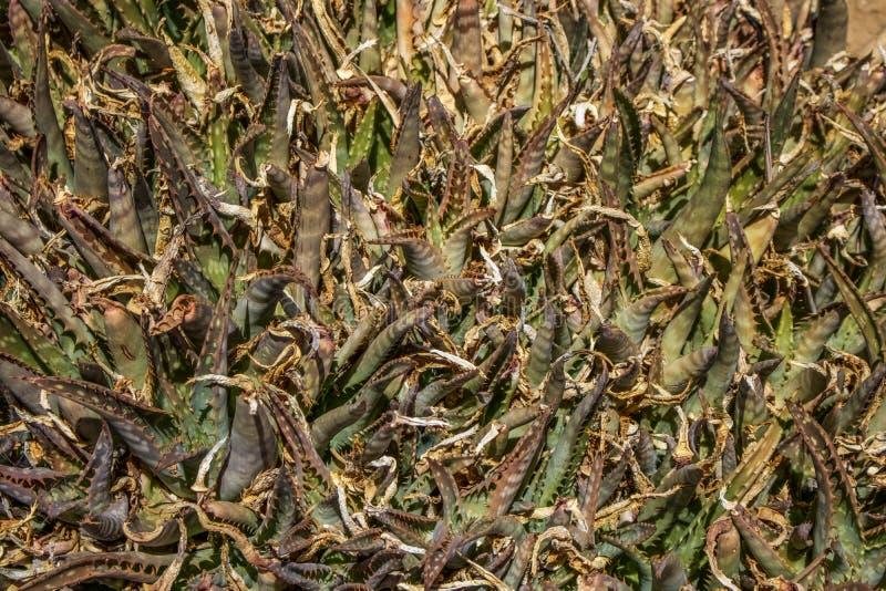 Aloeväxtrankor arkivfoto