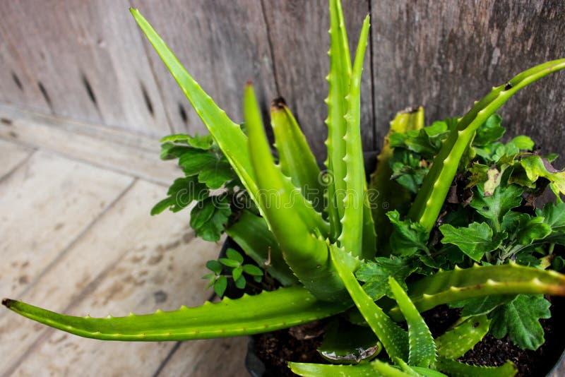 Aloevera-Anlage, die fruchtbar wächst stockfoto