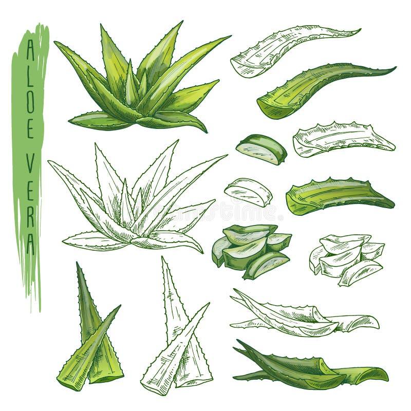 Aloevera-Betriebsskizzen Krautblatt, Naturflora vektor abbildung