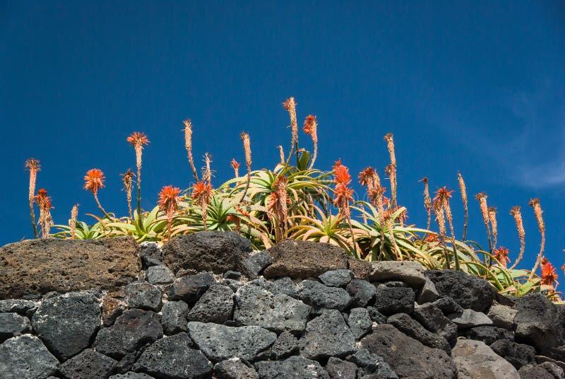 AloeVera blomma med himmelbakgrund arkivfoto