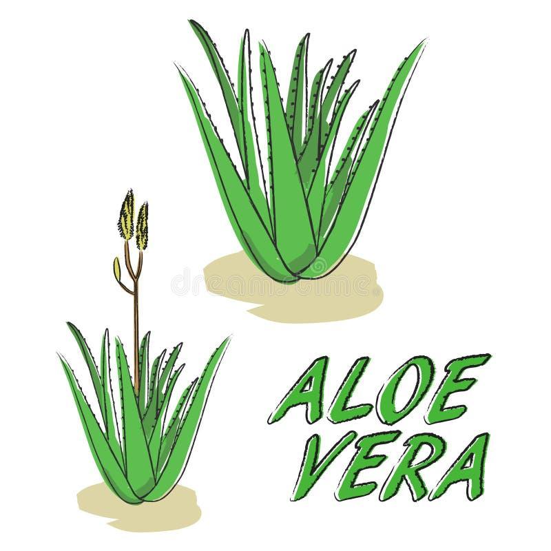 AloeVera vektor vektor illustrationer