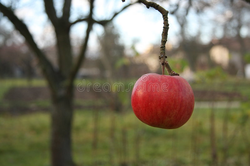 Alone apple on tree royalty free stock image