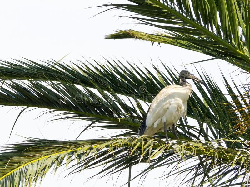 The Alone Australian white ibises bird perching on palm tree in new south wales, Australia forest. Alone Australian white ibises bird perching on palm tree in royalty free stock photo
