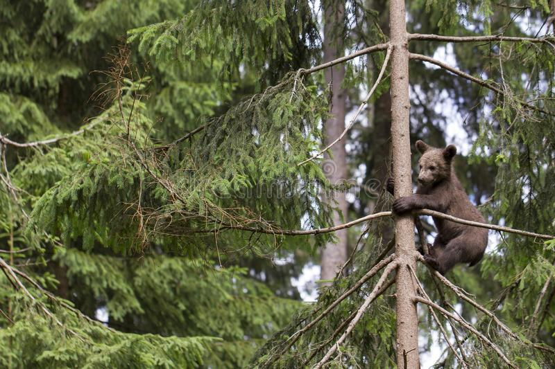 Alone baby bear in tree royalty free stock image
